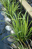Great Drooping Sedge (Carex pendula) in a garden pond - lagooning and filtration by aquatic plants