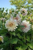 Dahlia 'Café au lait' in bloom in a garden