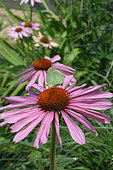 Purple coneflower in bloom and butterfly
