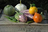 Légumes du jardin : Potimarron (Cucurbita maxima), Courgettes de Nice rondes et courgettes jaunes (Cucurbita pepo), Pâtisson (Cucurbita pepo), Aubergine tigrée (Solanum melongena), Piment vert (Capsicum annuum)