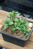 Water mint (Mentha aquatica), Pond plant in a special pond plant basket with burlap to maintain aquatic potting soil