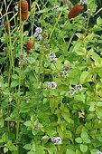 Aquatic Mint (Mentha aquatica), Pond and Shoreline Plants