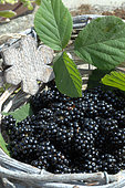 Harvest of wild blackberries (Rubus fructicosus) in a basket