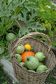 Vegetables from the garden: Potimarron (Cucurbita maxima), round zucchini and yellow zucchini (Cucurbita pepo) in a basket