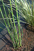 Japanese horsetail (Equisetum japonicum) in a garden pond - pond lagoon with Pozzolana - filtration by aquatic plants