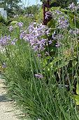 Society garlic (Tulbaghia violacea) flowers in garden