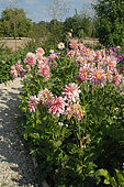 Dahlias 'Bel Amour' in bloom in a garden