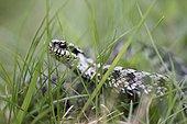 Adder (Vipera berus), male, creeping through grass, Bavaria, Germany