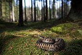 Adder (Vipera berus), curled up, female, darting the tongue in and out, Bavaria, Germany