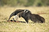 Giant anteater (Myrfmecophaga tridactyla), female with cub on its back, looking for ants in farmland, Mato Grosso do Sul, Brazil