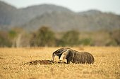 Giant anteater (Myrfmecophaga tridactyla), looking for ants in dry farmland, Mato Grosso do Sul, Brazil