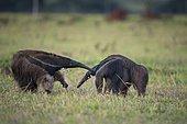 Grand fourmilier (Myrmecophaga tridactyla) rencontre de deux animaux solitaires, Mato Grosso do Sul, Brésil