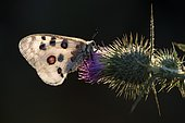 Apollo butterfly (Parnassius apollo), sitting on thistle, Bavaria, Germany