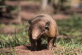 Six-banded armadillo (Euphractus sexcinctus), in front of its den, Mato grosso do Sul, Brazil