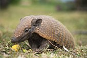 Six-banded armadillo (Euphractus sexcinctus), feeding on fruit, Mato grosso do Sul, Brazil