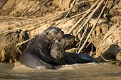 Giant otter (Pteronura brasiliensis), couple,sitting in shallow water. Pantanal, Mato Grosso, Brazil