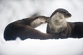 Otter (Lutra lutra), couple on frozen mountain creek, National Park Bayerischer Wald, Bavaria, Germany