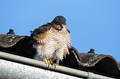 Sparrow hawk (Accipiter nisus), sitting on rain pipe, Bavaria, Germany
