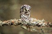 Tengmalm`s owl (Aegolius funereus), sitting on branch with lichens, Czech Republic