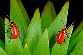 Lily Beetle (Lilioceris lilii). Habitat: parks and gardens. France