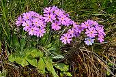 Primevère farineuse (Primula farinosa). Habitat: Prairies marécageuses. Etage subalpin. Pyrénées, France