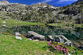 Nature Reserve of Néouvielle, lake of Aumar of glacial origin surrounded by Mountain pines (Pinus uninata). Pyrenees, France