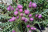 Pyrenean Thistle (Carduus carlinoides). Habitat: scree, rocky lawns. Endemic of the Pyrenees. la France