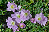 Ashy Cranesbill (Geranium cinereum). Habitat: rocky lawns on limestone. Subalpine floor. Pyrenees, France