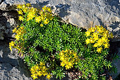 Saxifrage faux-orpin (Saxifraga aizoides). Habitat: Rochers humides calcaires. Etage subalpin. Pyrénées, Aragon, Espagne