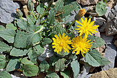 Pygmy Hawksbeard (Crepis pygmaea), Habitat: shallow scree of limestone and schists. Pyrenees, Aragon, Spain