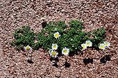 Alpine Daisy (Chrysanthemum alpinum), Pyrenees, Aragon, Spain