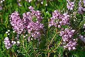 Cornish heath (Erica vagans), Habitat: heaths on silica or limestone. Pyrenees, France