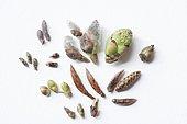 Common alder, pussy willow, birch, ,winter bud, hawthorn, hazel tree, beech, hornbeam, rasberry bush, winter buds Doller Valley, Alsace, France