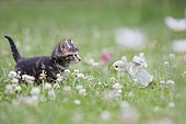 Northern tiger kitten on blooming grass with a chick, Alsace, France
