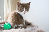 British Shorthair kitten, Alsace, France