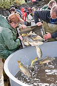 Common Carps (Cyprinus carpio) discharged in a stall trough, draining pond fishing, Malsaucy, Territoire de Belfort, Franche Comté, France