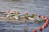 Fishes gathered in a net, Common Carp (Cyprinus carpio), draining pond fishing, Malsaucy, Territoire de Belfort, Franche Comté, France