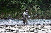 Fishing on the Rhin. Catching a brown Trout (Salmo trutta fario), Vieux Rhin, Haut-Rhin, Alsace, France