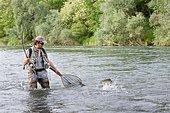 Fishing on the Rhin. Catching a brown Trout (Salmo trusta fario), Vieux Rhin, Haut-Rhin, Alsace, France