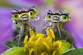 two damselflies covered by dew drops on a wild flower