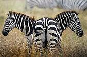 two zebras in the savannah, Tanzania