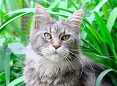 Maine Coon breed cat with black sylver tabby dress on vegetal background, Bayonne, France