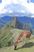Lama of the Andes in front of the ruins of the Inca city of Machu Picchu in the Cordillera of the Andes, Peru. The top of Huayna Picchu dominates the site.