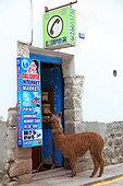 Alpaca in front of a grocery store in Cuzco, Peru