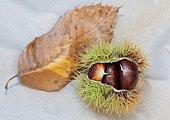 Wild chestnuts origin Dordogne, studio shot,