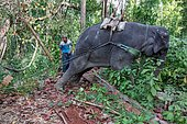 Asian Elephant (Elephas Maximus) hauling in the forest, Myanmar. In the Taungoo area, elephants are used from November to March for skidding trunks of precious trees. In Mying Whai Wynn, mahouts of the Bamas ethnic group go and find Iron Wood and teak in the jungle near their village.