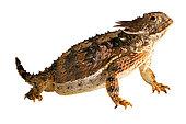 Regal horned lizard (Phrynosoma solare). S.E. Arizona. S. New-Mexico, Mexico