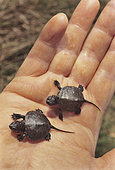 European Pond Turtle (Emys orbicularis), new born in a hand, France
