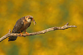 Red-footed Falcon (Falco vespertinus ) female with prey on branch and background Sunflower in bloom, Hortobagy , Hungary