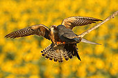 Red-footed Falcon (Falco vespertinus ), Offering of the male to his female on branch and background Sunflower in bloom, Hortobagy , Hungary
